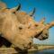 Υπόκλιση στην επιστήμη: Οι δύο τελευταίοι λευκοί βόρειοι ρινόκεροι θα αποκτήσουν απογόνους χάρη στην… τεχνητή γονιμοποίηση!